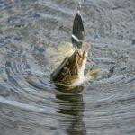 Календарь поклевки щуки — когда ловить рыбу
